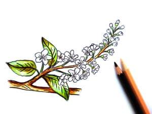 как нарисовать черемуху карандашом