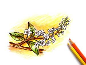 рисунок черемухи